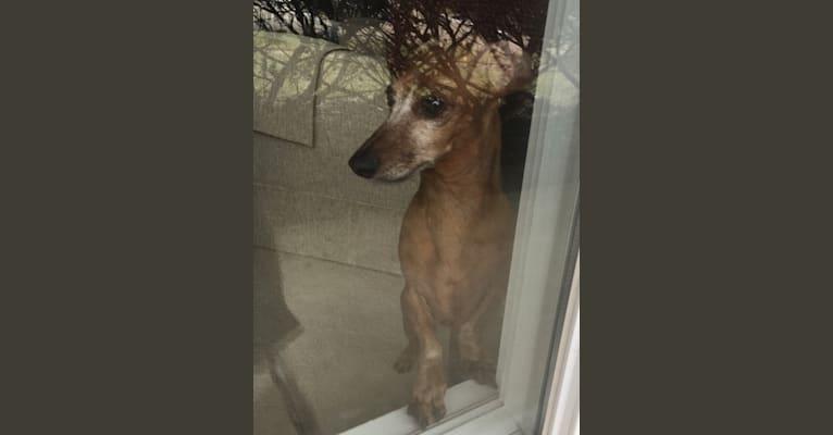 Photo of Lola, a Dachshund