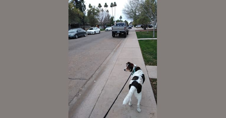 Photo of Maguire, an American Pit Bull Terrier, German Shepherd Dog, Chow Chow, and Mixed mix in Tempe, Arizona, USA