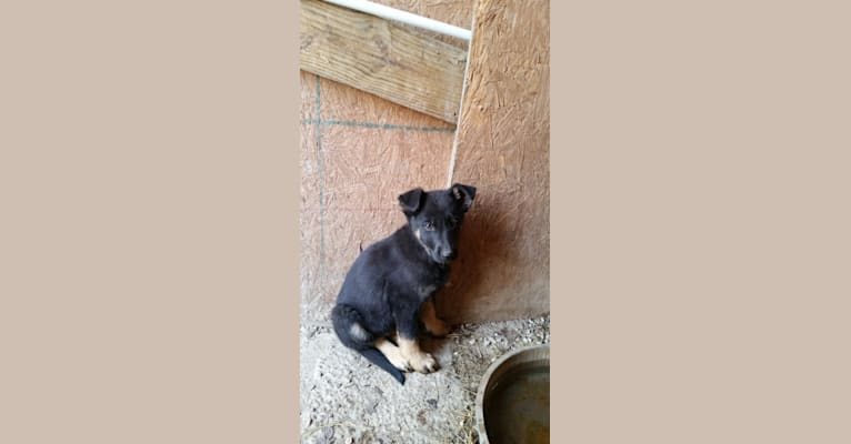 Photo of Miss Black, a German Shepherd Dog  in 16101 North Forty Trail, Garfield, AR, USA