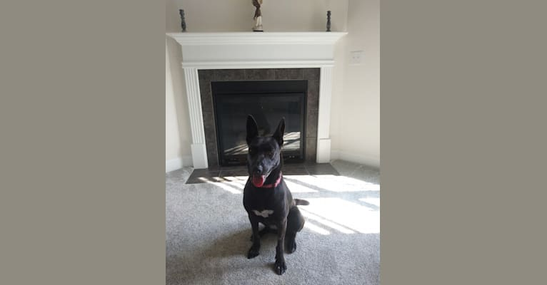 Photo of Kaya, a German Shepherd Dog, American Pit Bull Terrier, and American Staffordshire Terrier mix in Kernersville, North Carolina, USA