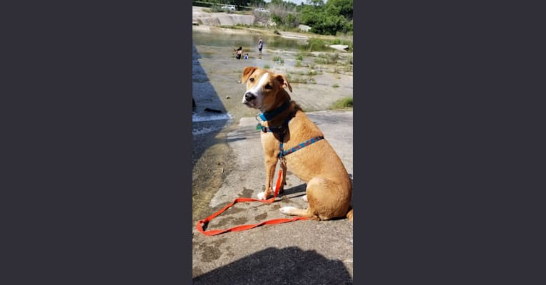 Photo of Naia, an American Pit Bull Terrier, Boxer, and Mixed mix in San Antonio, Texas, USA