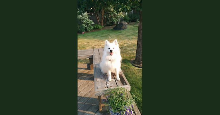 Photo of Snowball, an American Eskimo Dog and Lhasa Apso mix