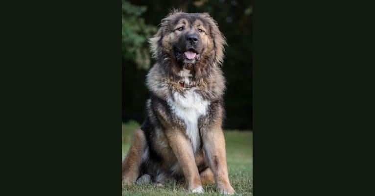 Photo of Lou, a Caucasian Ovcharka  in Delaware, USA