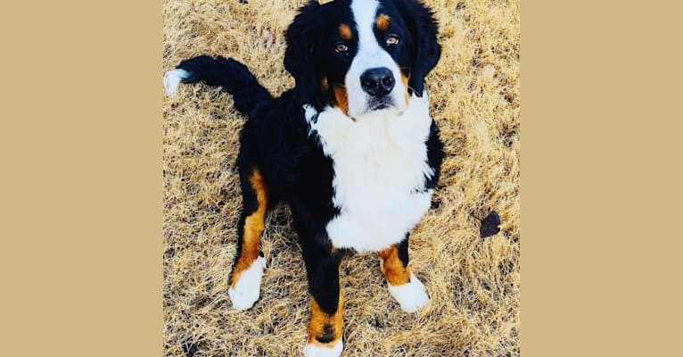 Photo of Mozzie, a Bernese Mountain Dog  in Udall, KS, USA