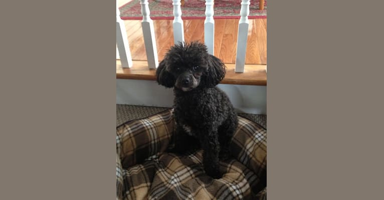 Photo of Stella, a Poodle (Small)  in Alabama, USA