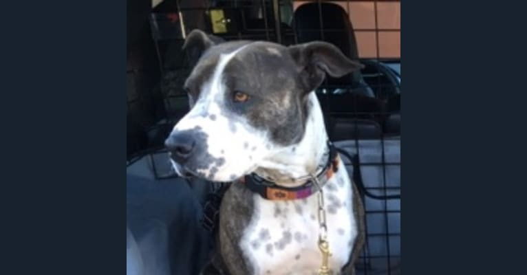 Photo of Bodi, an American Pit Bull Terrier and American Staffordshire Terrier mix