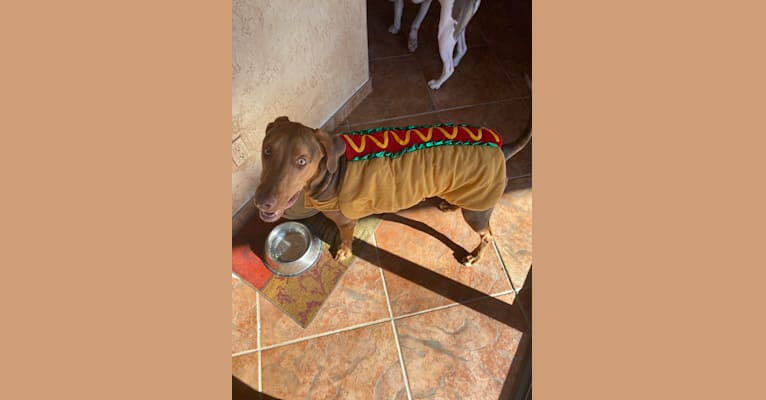 Photo of Dobby, a Doberman Pinscher, American Pit Bull Terrier, and American Staffordshire Terrier mix in Arizona, USA