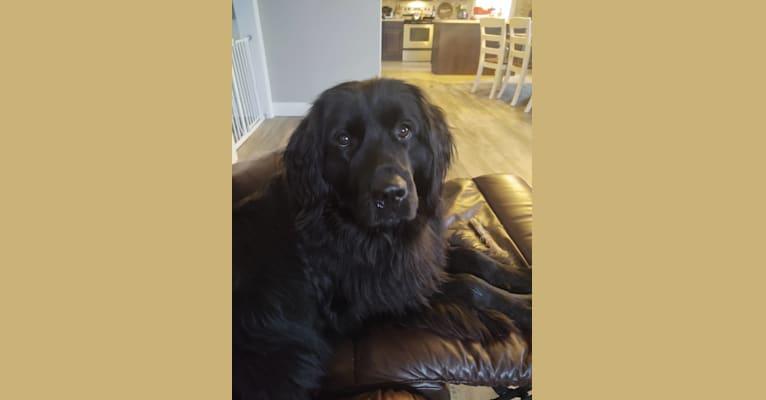 Photo of Molly, a Newfoundland  in Ohio, USA