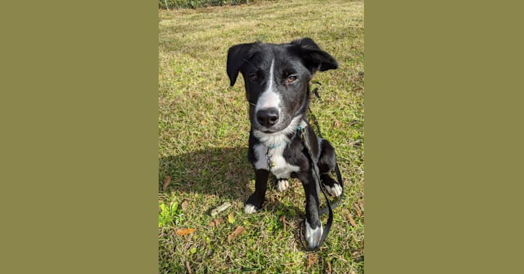 Photo of Teddy, a Siberian Husky, American Pit Bull Terrier, Labrador Retriever, and American Staffordshire Terrier mix in Adel, Georgia, USA