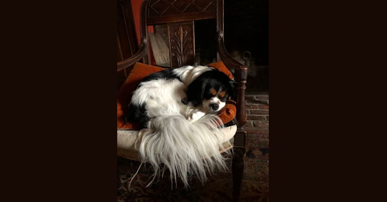 Photo of ROBBIE, a Cavalier King Charles Spaniel, Pomeranian, and Shih Tzu mix in Salem, Massachusetts, USA