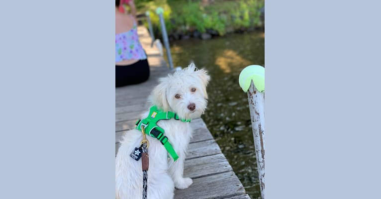 Photo of Ike, a Chihuahua, Poodle (Small), and Pomeranian mix in Los Angeles, California, USA