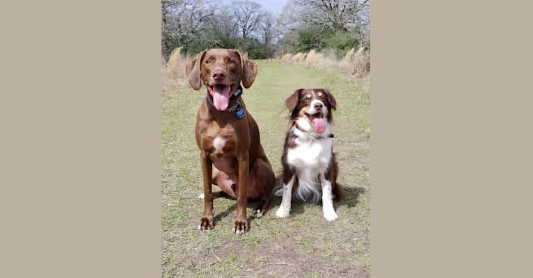 Photo of Maple, a Siberian Husky, Rat Terrier, Cocker Spaniel, and Australian Shepherd mix in Houston, Texas, USA