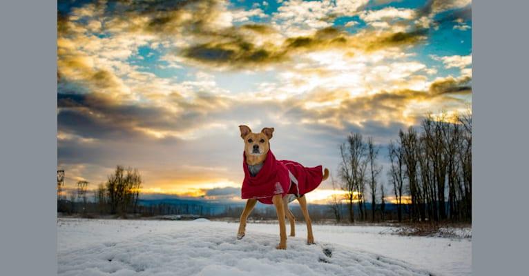 Photo of Phoenix, an Australian Cattle Dog, Rat Terrier, and Australian Kelpie mix in Klamath Falls, Oregon, USA
