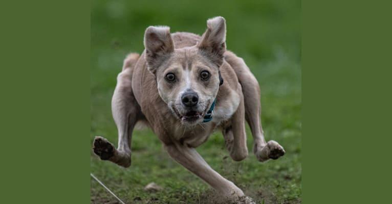 Photo of Wiley, an American Pit Bull Terrier, American Staffordshire Terrier, Pomeranian, and Shetland Sheepdog mix in Santa Clarita, California, USA