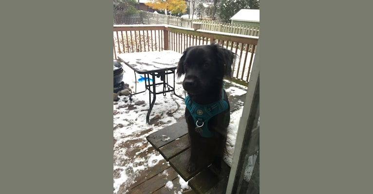 Photo of Aiko Aiko, a Cocker Spaniel, American Pit Bull Terrier, American Staffordshire Terrier, and Chow Chow mix in East Lansing, Michigan, USA