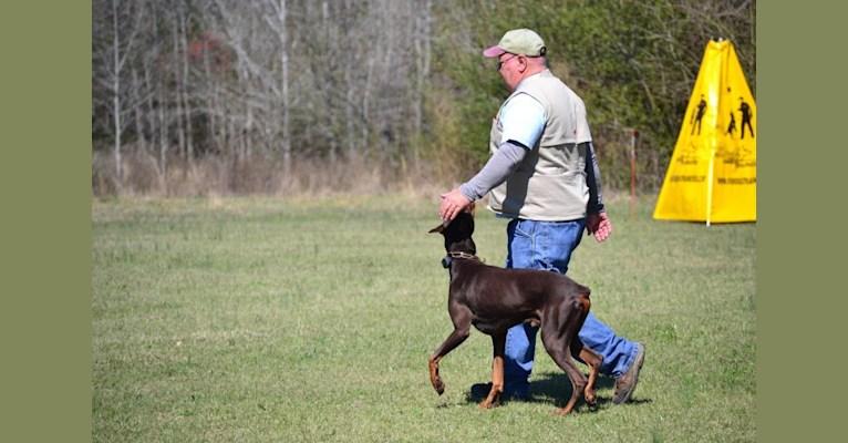 Photo of Enzo, a Doberman Pinscher  in Jacksonville, AR, USA