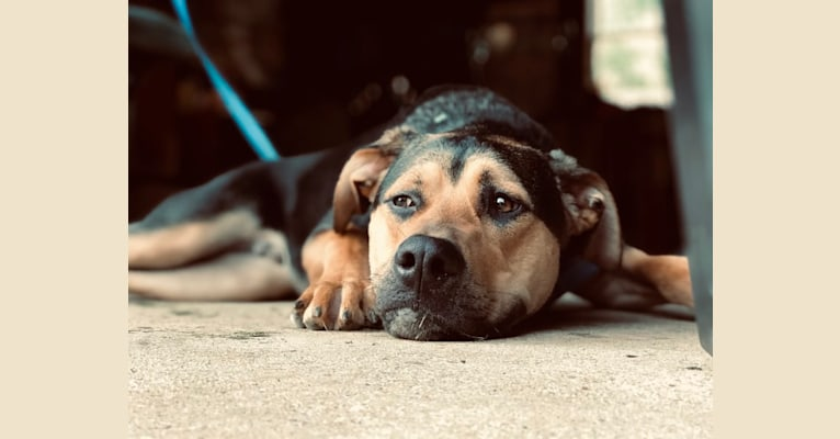 Photo of Gary, a German Shepherd Dog, American Pit Bull Terrier, Australian Cattle Dog, and Boxer mix in West Virginia, USA