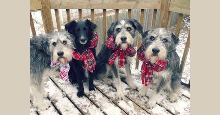 Photo of Zane, a Shetland Sheepdog, Labrador Retriever, Border Collie, Siberian Husky, and Chinese Shar-Pei mix in Wadena, Minnesota, USA