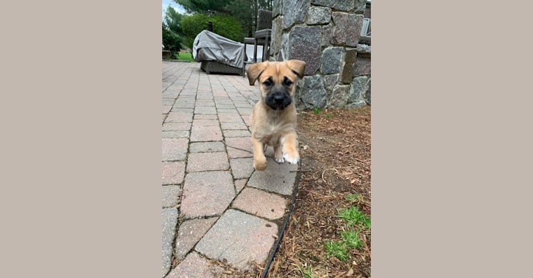 Photo of Nikki, a German Shepherd Dog, Chow Chow, American Pit Bull Terrier, and Mixed mix in Westborough, Massachusetts, USA