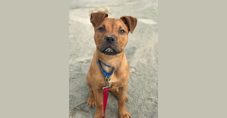 Photo of Wesley, an American Pit Bull Terrier mix in Collingswood, New Jersey, USA