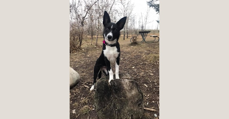 Photo of Minnie, a Border Collie mix in Redwater, AB, Canada