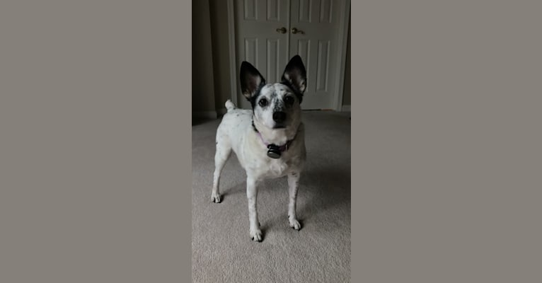 Photo of Sadie, an Australian Cattle Dog, Russell-type Terrier, and Mixed mix in Beavercreek, Ohio, USA