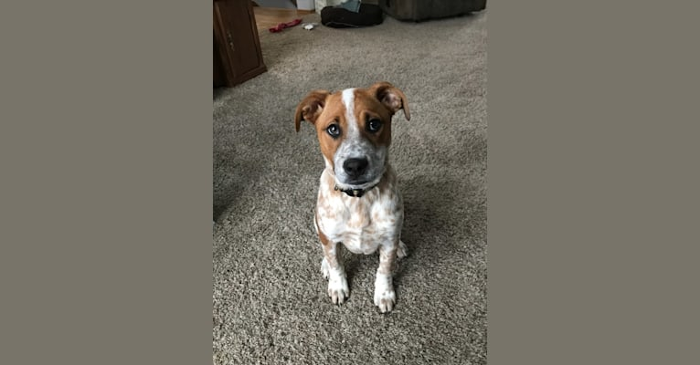 Photo of Ruby Mae, an American Pit Bull Terrier and Australian Cattle Dog mix in Birmingham, AL, USA