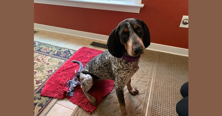 Photo of Tessa, a Bluetick Coonhound  in Pearisburg, Virginia, USA