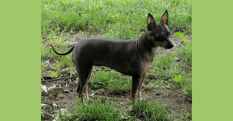 Photo of Nellie, an American Hairless Terrier