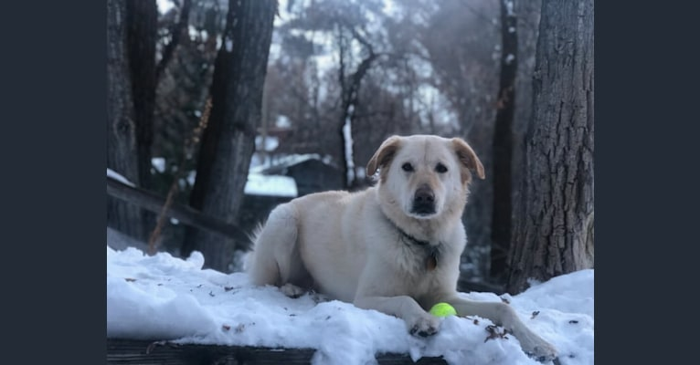 Photo of George, a Labrador Retriever, Chow Chow, Rottweiler, and Border Collie mix in Tullahoma, TN, USA