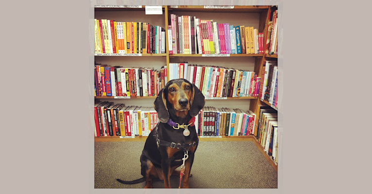 Photo of Monkey, a Black and Tan Coonhound  in Columbus, Ohio, USA