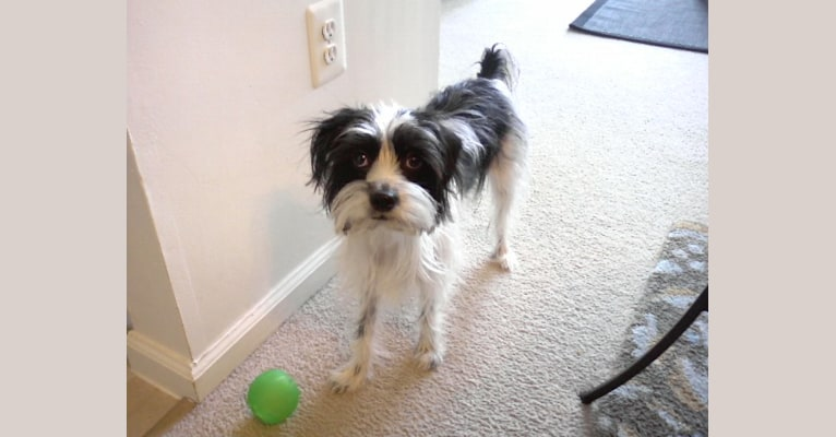 Photo of Viola, a Cocker Spaniel, Yorkshire Terrier, Russell-type Terrier, and Mixed mix in Arkansas, USA