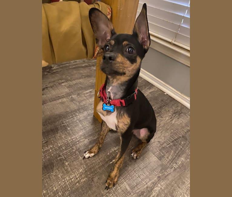 Photo of Maverick, a Chihuahua, Pomeranian, Dachshund, and Miniature/MAS-type Australian Shepherd mix in Austin Pets Alive!, West Cesar Chavez Street, Austin, TX, USA