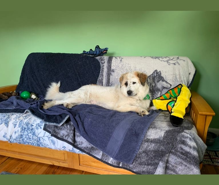 Photo of Moo Moo, a Great Pyrenees and Mixed mix in Bastrop, TX, USA