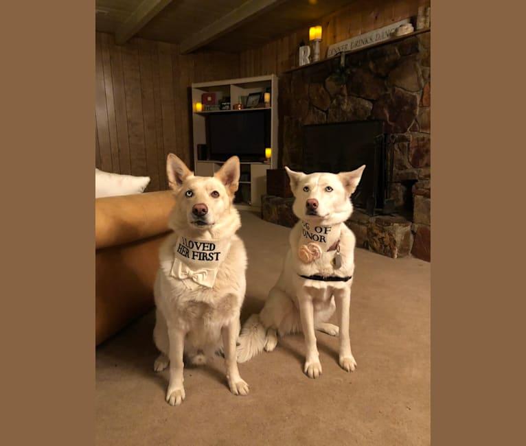 Photo of Kaleo, a Siberian Husky and German Shepherd Dog mix in Big Bear Lake, California, USA