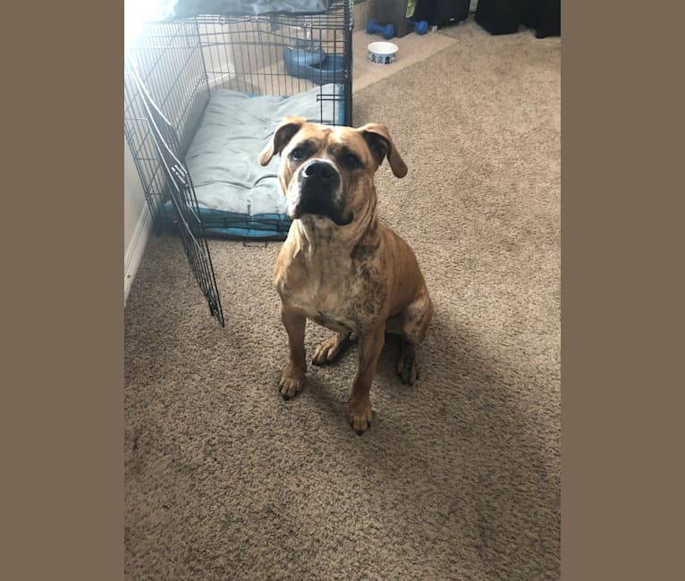 Photo of Mikey, an American Bulldog  in Houston, Texas, USA