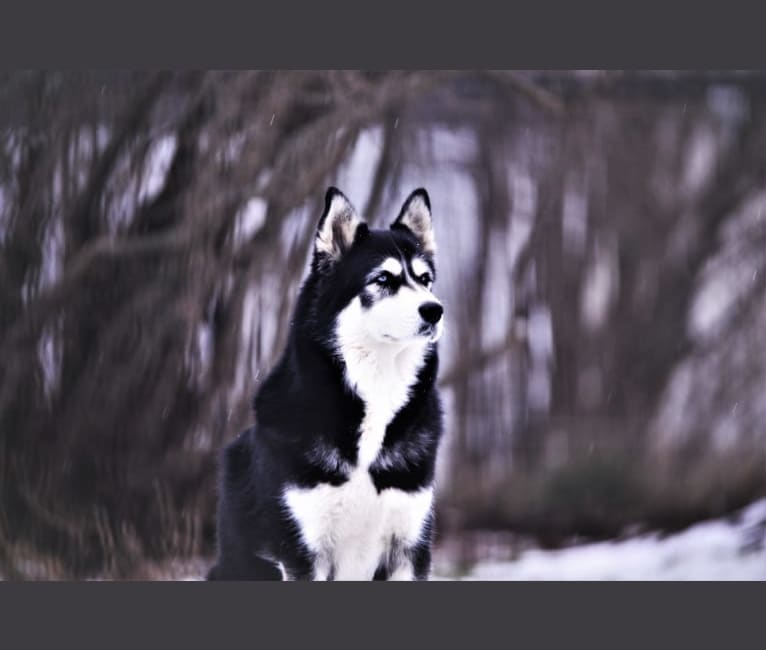 Photo of Spirit, a Siberian Husky  in Saint-Charles-Borromée, Quebec, Canada
