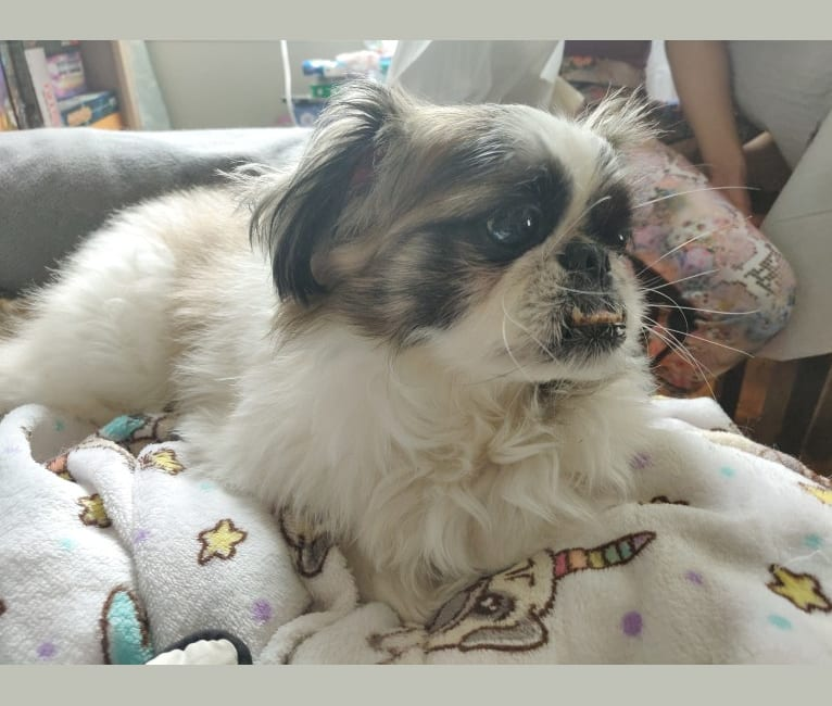 Photo of Chin Chilly, a Pekingese, Shih Tzu, and Mixed mix in New York, USA