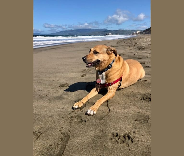 Photo of Nalee, an American Pit Bull Terrier, Chow Chow, and German Shepherd Dog mix in San Francisco SPCA Mission Adoption Center, Florida Street, San Francisco, CA, USA