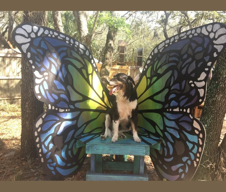 Photo of Shay, a Labrador Retriever, German Shepherd Dog, and German Shorthaired Pointer mix in Florida, USA