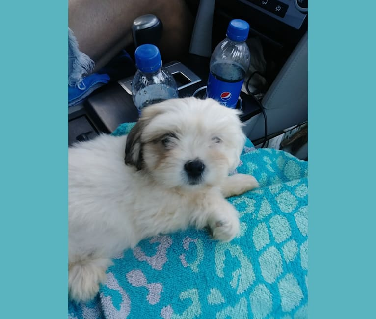 Photo of Dexter, a Lhasa Apso  in West Virginia, USA