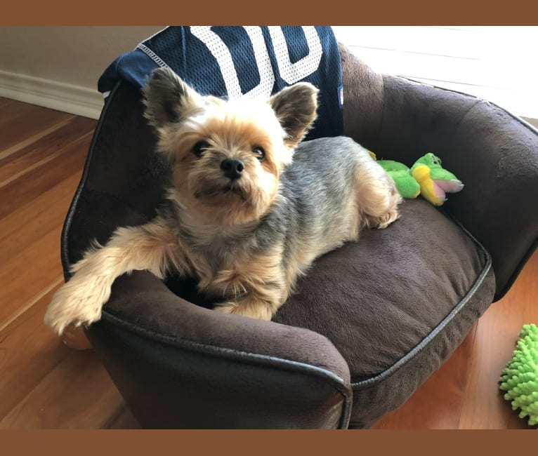 Photo of Yolo, a Yorkshire Terrier  in Brownsville, Texas, USA