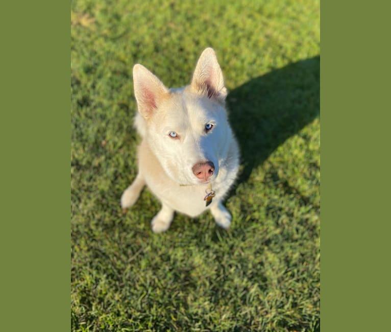 Photo of Balou, a Siberian Husky, Basset Hound, German Shepherd Dog, and Alaskan Malamute mix
