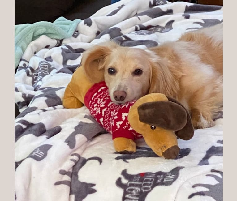 Photo of Henry, a Dachshund  in Florida, USA
