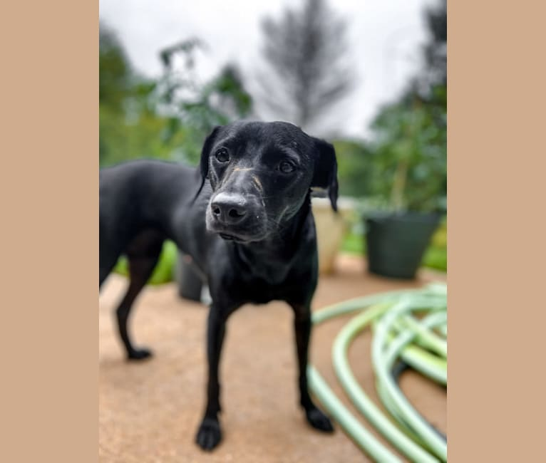 Photo of Mia, a Chihuahua, Rat Terrier, Boxer, and Dachshund mix in South Carolina, USA