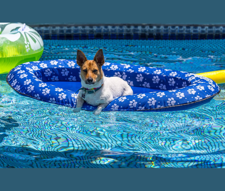 Photo of Tooey, a Chihuahua, Rat Terrier, Pomeranian, and Mixed mix in Honolulu, Hawaii, USA