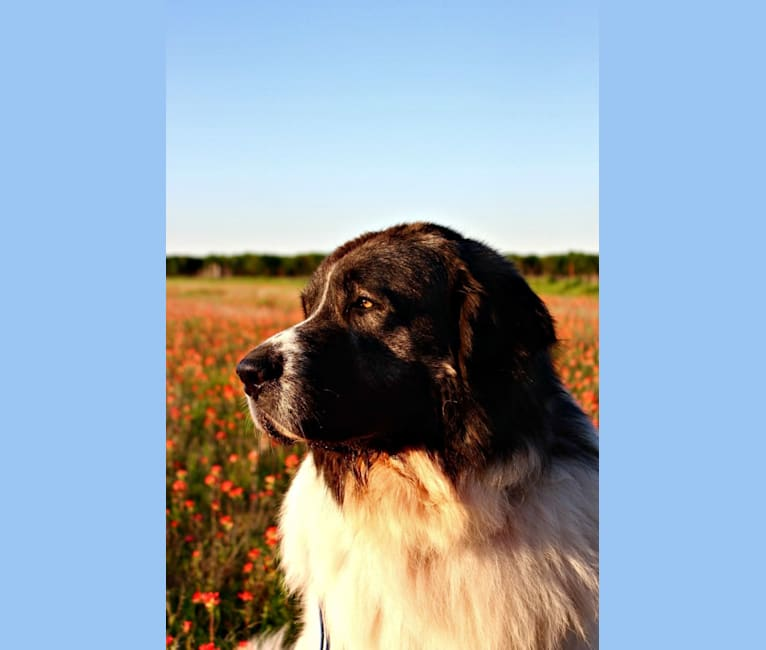 Photo of Adonis, a Pyrenean Mastiff  in Southbury, CT, USA