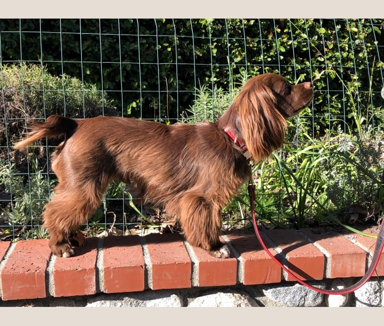 Photo of Taz, a Cocker Spaniel, Chihuahua, and Shih Tzu mix in Ontario, California, USA