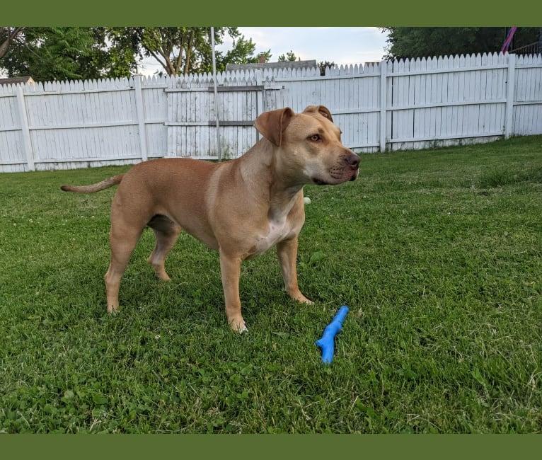 Photo of Honey, an American Pit Bull Terrier, American Bulldog, and American Staffordshire Terrier mix in Warren, Michigan, USA
