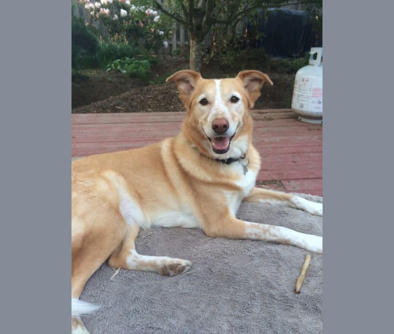 Photo of Khaleesi, a Siberian Husky, German Shepherd Dog, Australian Cattle Dog, Collie, and Mixed mix in Nebraska, USA